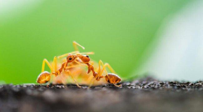 Bilim insanları şaşkın! Karıncalar akraba evliliğinden kaçıyor…