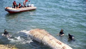 Mersin'de ölü balina kıyıya vurdu